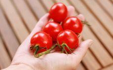 Garść pomidorów koktajlowych