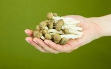 Garść grzybów shimeji