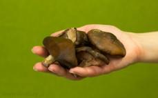 Garść świeżych grzybów shiitake