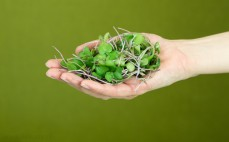 Garść mikro liści jarmużu