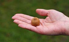 Owoc longan