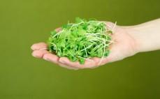Garść mikro liści mizuny