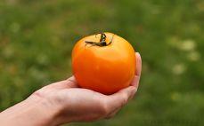 Pomidor pomarańczowy