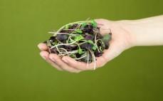 Garść liści rzodkiewek