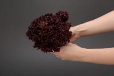 Główka sałaty karbowanej czerwonej