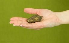 Kawałek topinamburu - słonecznika bulwiastego